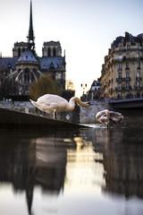 Paris, France - il suffira d'un cygne (pierrepphotography) Tags: paris france cygne