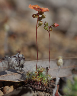 Drosera hyperostigma, Kalamunda - Mundaring Weir, near Perth, WA, 13/11/17