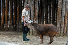 Brazilian Tapir (Parc Zoologique de Paris) (stinkenroboter) Tags: braziliantapir paris france zoo parczoologiquedeparis tapirusterrestris southamericantapir lowlandtapir zookeeper keeper