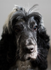 2018 - 01_06 - Portrait - Animal - Gertie 01.jpg (stevenlazar) Tags: 2018 grey gertie dog australia animals largs adelaide southaustralia cockerspaniel