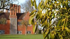 Mistletoe (Nick:Wood) Tags: warwickshire baddesleyclinton nationaltrust manorhouse manor mistletoe viscumalbum garden grass leaves