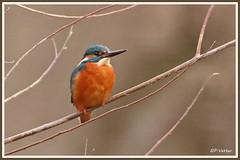 Martin-Pêcheur 180208-01-RP (paul.vetter) Tags: oiseau ornithologie ornithology faune animal bird martinpêcheur alcedoatthis eisvogel kingfisher