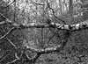 Fallen Tree (Hyons Wood) (Jonathan Carr) Tags: woodland rural northeast landscape black white bw monochrome