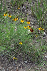 Ratibida, Rd. 63, no. of Pecos, San Miguel Co., NM (RonParsonsflowershots) Tags: nm noofpecos ratibida rd63 sanmiguelco
