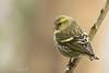 Tarin des aulnes (Corinne Ménardi) Tags: aves birds carduelisspinus eurasiansiskin fringillidae fringillidés oiseaux passériformes tarindesaulnes nature plumage spinus