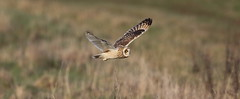 Short Eared Owl (smiffy4268) Tags: