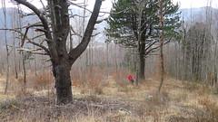Pino Loricato (Pinus heldreichii)