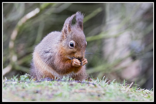 IMG_0151 Red Squirrel