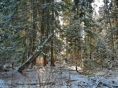 The woods after a snowfall (walneylad) Tags: westlynn northvancouver britishcolumbia canada february winter morning snow forest urbanforest woods woodland trees ferns sun shade bluesky white view scenery nature branches green brown