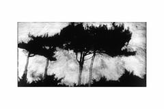 (bruXella & bruXellus) Tags: landscape landschaft paysage blackwhite bnw monochrome storm stormy stormyweather afterthestorm tree trees isleofmull innerhebrides scotland uk