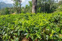 J5. Rothschild Estate - Plantation de thé (Darth Jipsu) Tags: botanic plant mountain landscape asia leaf ceylon green ceylan plantation srilanka tea rothschild rothschildestate estate