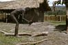 HG3-1-013b (Stichting Papua Erfgoed) Tags: henkgeut baliem varkensfeest papua irianjaya nieuwguinea stichtingpapuaerfgoed irianbarat