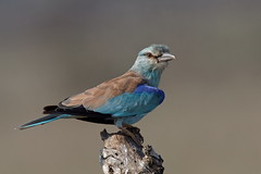 European Roller - Rollier d'Europe (happybirds.ch) Tags: afriquedusud africa south kruger national park knp wild sauvage nature happybirds bird oiseau european roller rollier europe