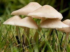 20180112_2029_7D2-66 Small fungi in lawn (012/365)