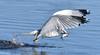The Beauty Of Fishing (Vidterry) Tags: gull seagull ringbilledgull cedarlake februarythaw gullfishing