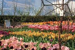 rows of colour (hannahdawkins) Tags: colours eden cornwall rowofcolour macro