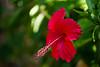 Hibiscus (Koku85) Tags: flower plant nature hibiscus srilanka