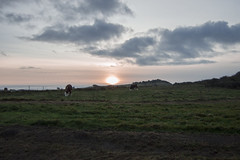 Nordjylland (cecilieelgaardh) Tags: danmark jylland denmark nordjylland kows køer natur nature sunset solnedgang skyer grass nikon d3200 nikond3200