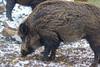 a wild boar in the snow (I-Like-My-Fotos-RAW) Tags: wildschwein wild boar pig snow schwein