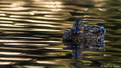 Irvine Regional Park - Morning Light_4889 (www.karltonhuberphotography.com) Tags: 2017 bird birdphotography calm duck female hen horizontalimage irvineregionalpark karltonhuber lake light lowangle lowlight mallard mallardanasplatyrhynchos morninglight peaceful pond reflections ripples shadows shimmering southerncalifornia water