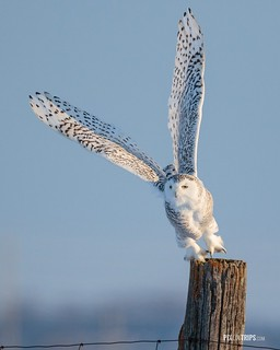 Female snowy owl takes off.