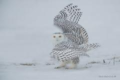 Fancy pose... (Earl Reinink) Tags: bird raptor predator owl hawk winter snow earl reinink earlreinink nature birdphotography snowyowl ahadraudza animal eyes