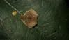 Winged Arkys (dustaway) Tags: arthropoda arachnida araneae araneomorphae australianspiders rprr rotarypark rainforest lismore nature northernrivers nsw australia crypsis arkyidae arkysalatus wingedarkys ambushhunter