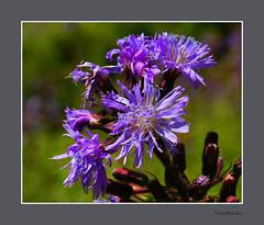 SLANGENKRUID - [  Echium vulgare]. (FotoRoelie.nl) Tags: paars blauwe bloemen slangenkruid echium vulgare
