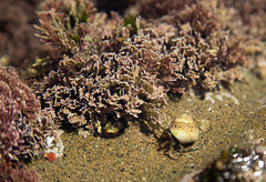 Hermit Crab (Caryn Sandoval) Tags: california tidepools tidepool nature ocean sea sealife sunset