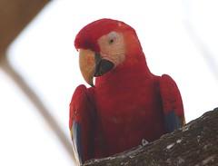 P2220082 (davidpetergibbins) Tags: scarlet macaw macaws costa rica