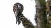 085.2 Andesreuzennachtzwaluw-20171108-J1711-64691 (dirkvanmourik) Tags: andeanpotoo andesreuzennachtzwaluw aves birdsofperu bosquenublado carreteraamanu nevelwoud nictibioandino nyctibiusmaculosus peru2017 reisdagcuscomanu vogel