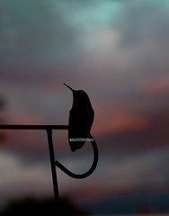 Silhouette (theresazphotography) Tags: hummingbirdphotography hummingbirds hummingbird birdphotography sunset silhouette dramaticsky clouds birds californiabirds cityhummingbirds city theresazphotography canonphotography losangeles southerncalifornia