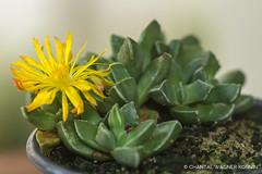 Faucaria bosscheana in bloom