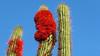 Quintral (Tristerix aphylluf) sobre Cactus (Eulychnia sp.) / Farellones / Chile (LeonCalquin (2)) Tags: flores silvestres wild flowers leon calquin fotos photos vincent carolina marcelo videos santiago chile flickr quincal huine huiñe aquelarre lago vichuquen diseño catalog catalogo senderismo hiking travel viaje nature endemica flora nativa naturaleza chilena chilenas especie especies nativas endemicas quintral tristerix aphylluf sobre cactus eulychnia farellones yerba loca