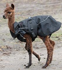 Alpaca Hoenderdaell BB2A1909 (j.a.kok) Tags: alpaca dier animal mammal zoogdier hoenderdaell zuidamerika southamerica herbivore