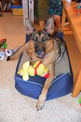 Christmas2016-0002 (awinner) Tags: 2016 christmas christmas2016 dalilah december2016 december25th2016 dog dogbed germanshepherd holidays home largoflorida puppy