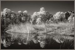 Agua Caliente #6 2018; Water, Reeds, & Palms (hamsiksa) Tags: infrared digitalinfrared scenic landscape water ponds reflections blackwhite arizona tucson pimacounty aguacalientpark desert sonorandesert plants flora vegetation reeds waterplants palms palmae washingtoniarobusta