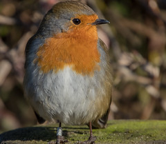 Favourite of many. (pitkin9) Tags: bird robin erithacusrubecula rspbreserve oldmoor southyorkshire