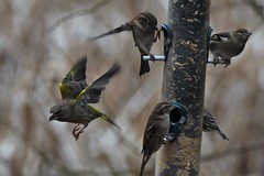 Greenfinches and House Sparrows (JerryGoulet) Tags: middletonlakesrspbnaturereserve rspb birds nikon d500 sigma greenfinches sparrows naturereserve wilderness wildlife conservancy conservationism cambridgeshire housesparrows food feeders feathers feeding diner lowlight highiso sigma150600 animals