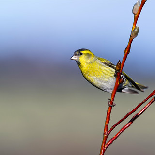Siskin on pussy willow