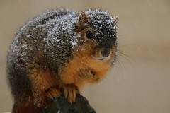 243/365/3530 (February 9, 2018) - Squirrels On a Snowy Day in Ann Arbor at the University of Michigan (February 9th, 2018) (cseeman) Tags: gobluesquirrels squirrels annarbor michigan animal campus universityofmichigan umsquirrels02092018 winter eating peanut februaryumsquirrel snow snowy sunny storm snowstorm art publicart angryneptunesalaciaandstrider statue bronze micheleokadoner micheleokadonerstatue squirrelsandart squirrelsandpublicart livingart 2018project365coreys yeartenproject365coreys project365 p365cs022018 356project2018