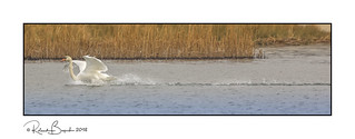 Splash landing - Mute Swan (Cygnus olor)