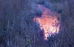 Frozen Brook (Julian Barker) Tags: attenborough nature reserve nottingham nottinghamshire east midlands england uk europe pink blue brook canon dslr 5d mk2 reeds reedbed stream reflection dawn cold cool tones