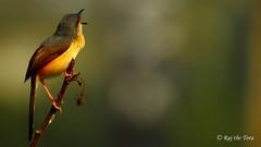 Reed Singer (Raj the Tora) Tags: ashyprinia ashywrenwarbler priniasocialis prinia socialis priniaashy ashywarbler wrenwarbler warbler songbird bird aves avian avians music reeds reedbird reedsinger