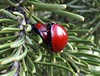 Having fun! Spotless ladybird beetle (Cycloneda sanguinea), Routt National Forest, Colorado, June 2017 (Judith B. Gandy (on and off, off and on)) Tags: cycloneda ladybirds beetles ladybugs beetle colorado insects invertebrates cyclonedasanguinea ladybirdbeetles ladybugbeetle routtnationalforest spotlessladybirdbeetle