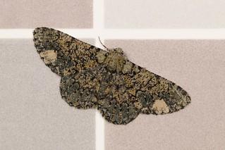 Geometrid Moth (Ophthalmitis xanthypochlora, Ennominae, Geometridae)