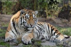 Siberian Tiger - Zoo Duisburg (Mandenno photography) Tags: animal animals siberian tiger tijger tigers tijgers zoo zooduisburg duisburg duitsland germany bigcat big cat dierenpark dierentuin dieren ngc nature