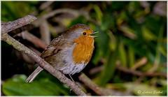 Almost Spring I (lukiassaikul) Tags: wildlifephotography wildanimals wildbirds gardenbirds urban wildlifesmall birdsrobineuropean robin perching trees branch