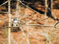 Belted Kingfisher (male) (atlnature) Tags: lullwaterpark decatur georgia unitedstates us