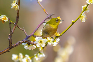 Japanese White-Eye with Ume Blossoms